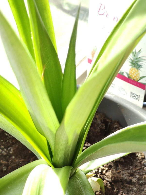 ananas-3977970