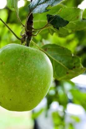 apple-fruit-green-tree-2757438