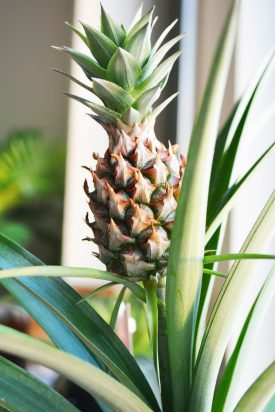 close-up-photo-of-pineapple-1719487